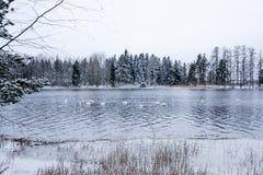Paesaggio di calma di inverno su un fiume con cigni bianchi La Finlandia, fiume Kymijoki immagini stock
