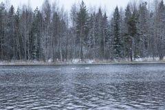 Paesaggio di calma di inverno su un fiume con cigni bianchi La Finlandia, fiume Kymijoki immagine stock libera da diritti