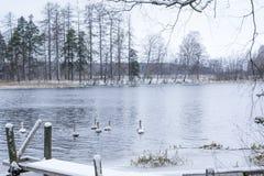 Paesaggio di calma di inverno su un fiume con cigni e pilastro bianchi La Finlandia, fiume Kymijoki immagini stock