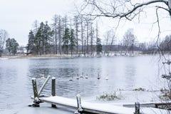 Paesaggio di calma di inverno su un fiume con cigni e pilastro bianchi La Finlandia, fiume Kymijoki immagine stock
