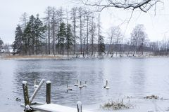 Paesaggio di calma di inverno su un fiume con cigni e pilastro bianchi La Finlandia, fiume Kymijoki fotografia stock