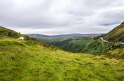 Paesaggio di Cloudly con le pecore in Irlanda Fotografie Stock Libere da Diritti