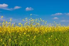 Paesaggio di estate con cielo blu e grano verde Immagini Stock