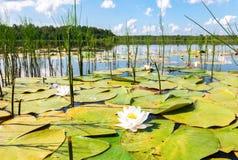 Paesaggio di estate con i fiori della ninfea Immagini Stock Libere da Diritti