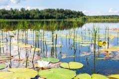 Paesaggio di estate con i fiori della ninfea Fotografie Stock