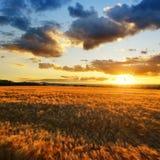 Paesaggio di estate con il campo dorato dell'orzo al tramonto Immagini Stock