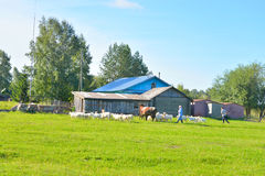 Paesaggio di estate con la fattoria e un gregge degli animali da allevamento Immagine Stock Libera da Diritti