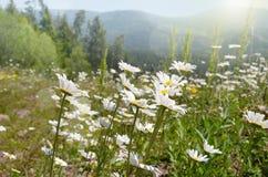 Paesaggio di estate con le margherite immagine stock