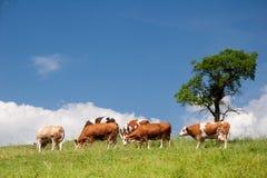 Paesaggio di estate con le mucche Fotografia Stock Libera da Diritti