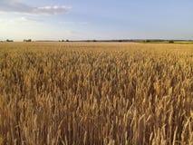Paesaggio di estate del giacimento di grano Immagine Stock Libera da Diritti