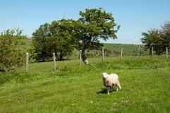 Paesaggio di estate e una pecora nella campagna britannica Fotografia Stock