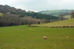 Paesaggio di estate ed alcune pecore nella campagna britannica Fotografie Stock Libere da Diritti
