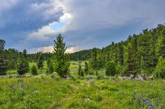 Paesaggio di estate in montagne di Altai con insenatura, prato alpino Fotografia Stock Libera da Diritti