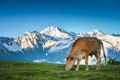 Paesaggio di estate nelle alpi con la mucca che pasce Immagine Stock