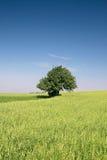 Paesaggio di estate. Singolo albero su un campo Immagini Stock Libere da Diritti