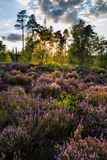 Paesaggio di estate sopra il prato dell'erica porpora durante il tramonto Fotografie Stock Libere da Diritti
