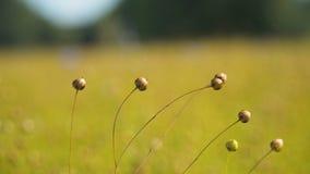 Paesaggio di estate, un campo di lino Fotografie Stock