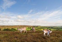Paesaggio di Exmoor. Fotografia Stock