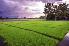 Paesaggio di giovane riso nell'agricoltura dell'azienda agricola Immagini Stock Libere da Diritti