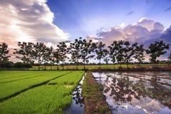 Paesaggio di giovane riso nell'agricoltura dell'azienda agricola Fotografia Stock