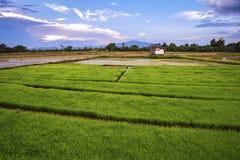 Paesaggio di giovani agricoltori del riso Immagine Stock Libera da Diritti