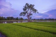 Paesaggio di giovani agricoltori del riso Immagini Stock