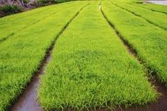 Paesaggio di giovani agricoltori del riso in Thailland Immagine Stock Libera da Diritti