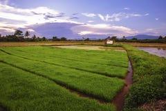 Paesaggio di giovani agricoltori del riso in Thailland Fotografie Stock