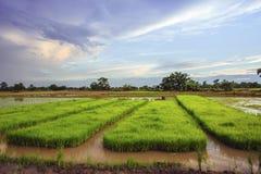 Paesaggio di giovani agricoltori del riso in Thailland Fotografia Stock Libera da Diritti