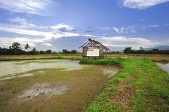 Paesaggio di giovani agricoltori del riso in Thailland Fotografia Stock