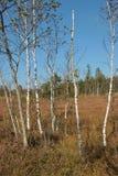 Paesaggio di Heath con le betulle nell'IBM Moorland in Austria settentrionale, in autunno in anticipo fotografie stock