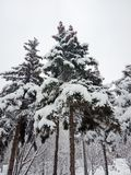 Paesaggio di inverno Alberi di Natale e degli alberi coperti di neve fotografie stock libere da diritti