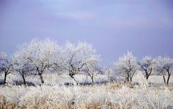 Paesaggio di inverno, alberi in un primo piano di fila, il gelo sull'erba Immagine Stock