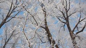 Paesaggio di inverno - bei alberi, coperti di brina, contro lo sfondo di un cielo blu luminoso video d archivio