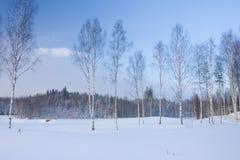 Paesaggio di inverno con gli alberi di betulla Immagine Stock