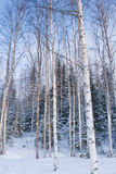 Paesaggio di inverno con gli alberi di betulla Fotografia Stock