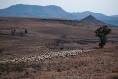 Paesaggio di inverno con una moltitudine di pecore merino fotografia stock libera da diritti