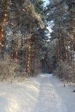 Paesaggio di inverno in foresta con i pini Fotografie Stock