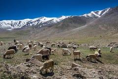 Paesaggio di Ladakh con gli sheeps Fotografia Stock Libera da Diritti