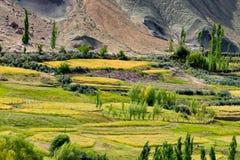 Paesaggio di Ladakh, giacimento della valle verde, agricoltura, Basgo, Leh, Ladakh, India Immagini Stock Libere da Diritti
