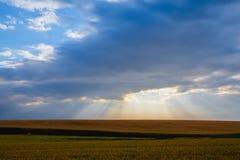 Paesaggio di mattina con il giacimento di grano Fotografia Stock