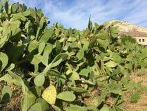 Paesaggio di scampanio del cactus Immagini Stock Libere da Diritti