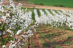 Paesaggio di stagione primaverile del frutteto Fotografia Stock Libera da Diritti