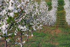 Paesaggio di stagione primaverile del frutteto di ciliegia Fotografie Stock