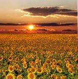 Paesaggio di tramonto al giacimento del girasole Fotografia Stock Libera da Diritti