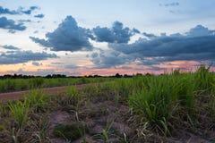 Paesaggio di tramonto della canna da zucchero Fotografie Stock