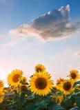 Paesaggio di tramonto di estate del girasole con i cieli blu Fotografia Stock
