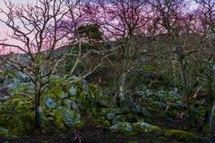 Paesaggio di tramonto in svezia con il cielo ed il gregge magenta dei cervi Fotografia Stock Libera da Diritti