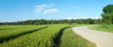 Paesaggio di un giacimento verde del riso Fotografia Stock