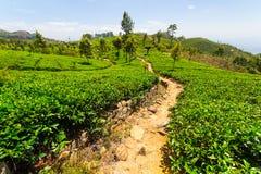 Paesaggio di verde della piantagione di tè nello Sri Lanka Immagine Stock